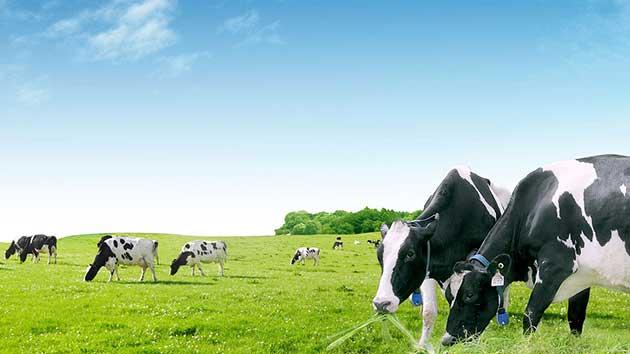 Khác biệt của sữa non của bò và sữa non của người