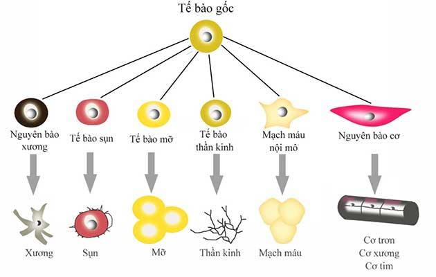 Tế bào gốc.